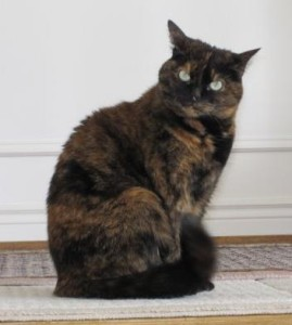 6-year_old_tortoise_shell_cat
