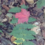 red leaf on fern