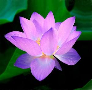 lotus-215460_640